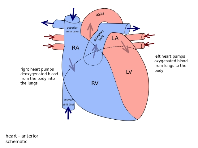 How to make easy heart diagram basic guide wiring diagram basic heart diagram for kids rh gdesignsgallery com simple heart diagram blank heart diagram blood flow ccuart Image collections