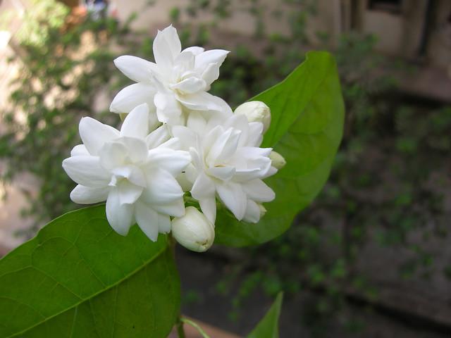 essay on mogra flower autumn essays free