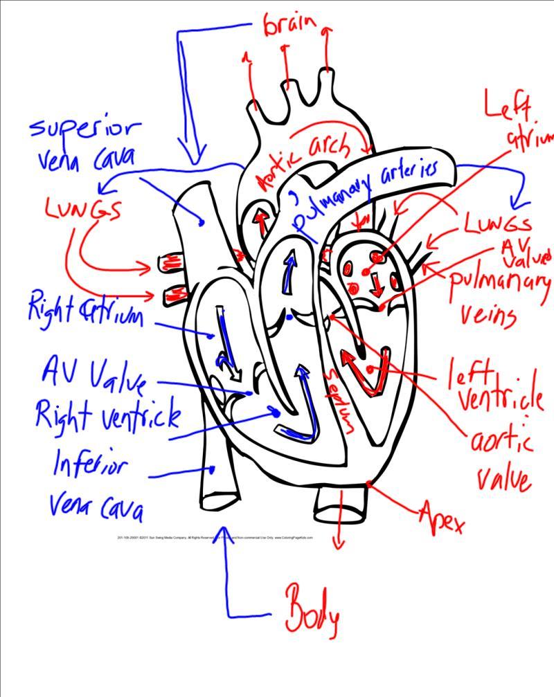 Heart Diagram Blood Flow Quiz