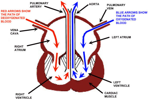 Heart Diagram For Kids Blood Flow